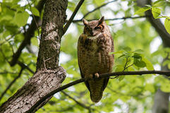 Great Horned Owl. On a branch royalty free stock photography