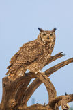 Great Horned Owl on Branch Royalty Free Stock Image