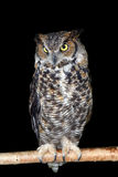 Great horned owl on branch Stock Image
