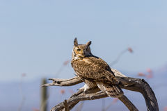 Great Horned Owl on Branch Stock Photography