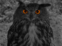 Great horned owl (Bubo bubo) Royalty Free Stock Photography
