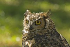 Great horned owl (bubo virginianus). Head shot of a great horned owl showing glowing yellow eyes Royalty Free Stock Photos