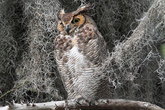Great Horned Owl (Bubo virginianus). Perched in a tree with Spanish Moss in the Florida Everglades stock image