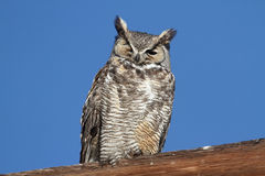 Great Horned Owl (Bubo virginianus) Stock Photos