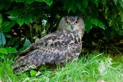 Great Horned Owl (Bubo virginianus) Stock Photo