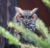 Great Horned Owl (Bubo virginianus) Stock Photo