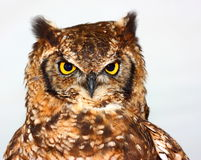 Great Horned Owl (Bubo virginianus). Close up shot Royalty Free Stock Photos