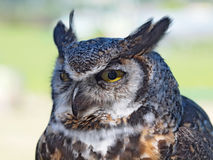 Great Horned Owl, (Bubo virginianus) Stock Images