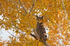 Great Horned Owl, Bubo virginianus Stock Image