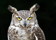Free Great Horned Owl (Bubo Virginianus) Royalty Free Stock Photo - 30751235