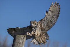 Free Great Horned Owl (Bubo Virginianus) Royalty Free Stock Photo - 62406265