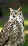 Great Horned Owl (Bubo virginianus) Royalty Free Stock Photo