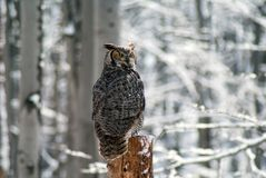 Great homed owl bubo virginianus royalty free stock image
