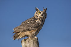 Great horned owl  (Bubo virginianus) Royalty Free Stock Photography