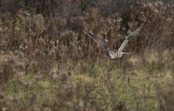 Great horned owl (Bubo virginianus) Royalty Free Stock Photos