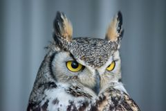 Great Horned Owl (Bubo virginianus), also known as the tiger owl. Is a large owl native to the Americas Royalty Free Stock Photography