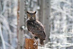 Great homed owl bubo virginianus royalty free stock images
