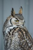 Great Horned Owl (Bubo virginianus), also known as the tiger owl. Is a large owl native to the Americas Royalty Free Stock Image