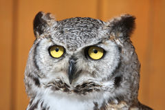 Great horned owl (Bubo virginianus). Royalty Free Stock Photography