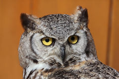 Great horned owl (Bubo virginianus). Royalty Free Stock Images