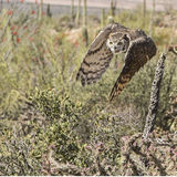 Great Horned Owl Bubo virginianus. Great Horned Owl flies through the Southwest Desert Stock Photo