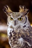 Great Horned Owl (Bubo virginianus) Intense Stare. Great Horned Owl (Bubo virginianus) stares intensely at viewer Royalty Free Stock Image
