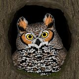 Great Horned Owl (Bubo virginianus) Royalty Free Stock Images