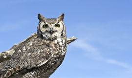 A Great Horned Owl Against a Blue Sky Royalty Free Stock Photos
