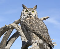 A Great Horned Owl Against a Blue Sky Stock Images