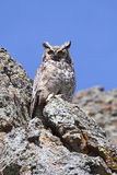 Great Horned Owl (Bubo virginianus) Stock Photography