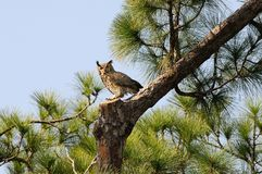 Great Horned Owl - Bubo virginianus in Pine Tree. A great horned owl uses a cutoff branch to guard it's nest in the Punta Gorda History Park Stock Image