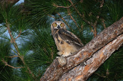 Great Horned Owl - Bubo virginianus in Pine Tree Royalty Free Stock Image