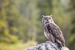 The Great Horned Owl Bubo virginianus Royalty Free Stock Images