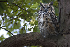 Great Horned Owl, Bubo virginianus, roosting in a tree Stock Photography