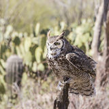 Great Horned Owl Bubo virginianus Stock Images