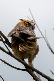 Great Horned Owl, Bubo virginianus, Sand Lake South Dakota Stock Photography