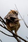 Great Horned Owl, Bubo virginianus, Sand Lake South Dakota Stock Photography