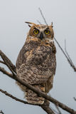 Great Horned Owl, Bubo virginianus, Sand Lake South Dakota. A young Great Horned Owl Royalty Free Stock Photography