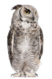 Great Horned Owl, Bubo Virginianus Subarcticus. In front of white background Royalty Free Stock Photography