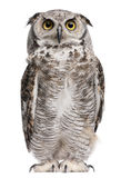 Great Horned Owl, Bubo Virginianus Subarcticus stock photos