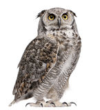 Great Horned Owl, Bubo Virginianus Subarcticus. In front of white background Stock Images
