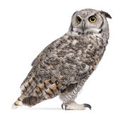 Great Horned Owl, Bubo Virginianus Subarcticus Royalty Free Stock Images