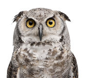 Great Horned Owl, Bubo Virginianus Subarcticus. In front of white background Stock Photos