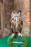 Great Horned Owl or Bubo Virginianus Subarcticus Royalty Free Stock Image