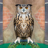 Great Horned Owl or Bubo Virginianus Subarcticus.  Stock Photo