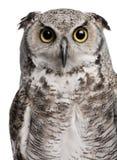 Great Horned Owl, Bubo Virginianus Subarcticus stock images