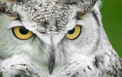 Great Horned Owl (Bubo virginianus) Turn Stare. Captive bird Stock Image