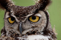 Great Horned Owl 8250 Royalty Free Stock Photo