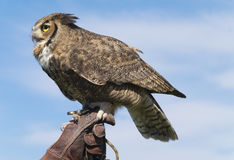 Great Horned Owl, California Stock Images