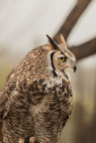 Great Horned Owl Calling Out Royalty Free Stock Photos